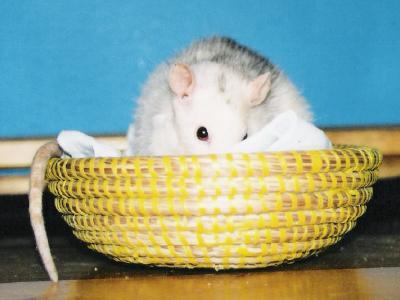 När råttan börjar åldras kan den bli gammal ganska snabbt.